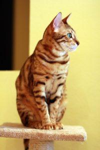 bengalin-kissa-ulkonäkö