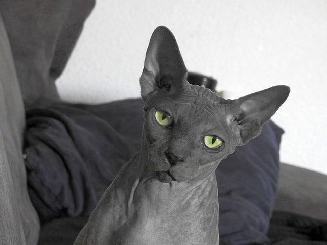 karvaton kissa luonne