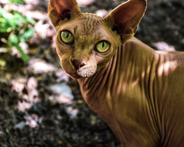 Karvaton kissa ruskea