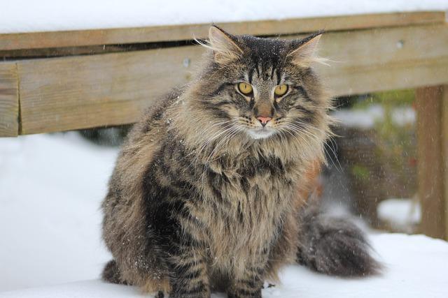 Norjalainen metsäkissa talvi