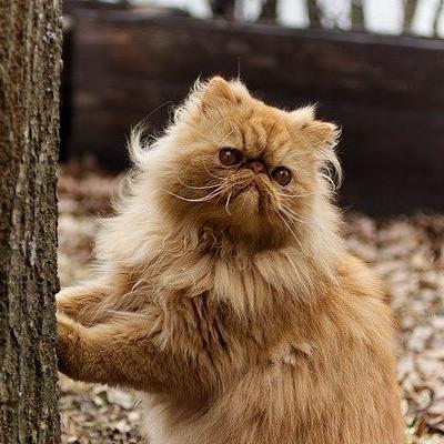 persialainen-kissa