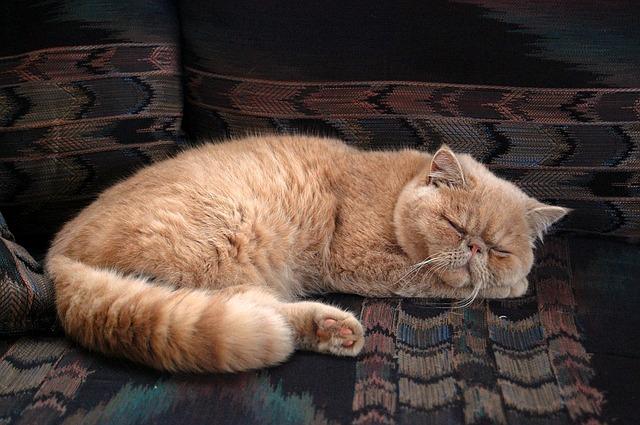 Persialainen-kissa-nukkuu