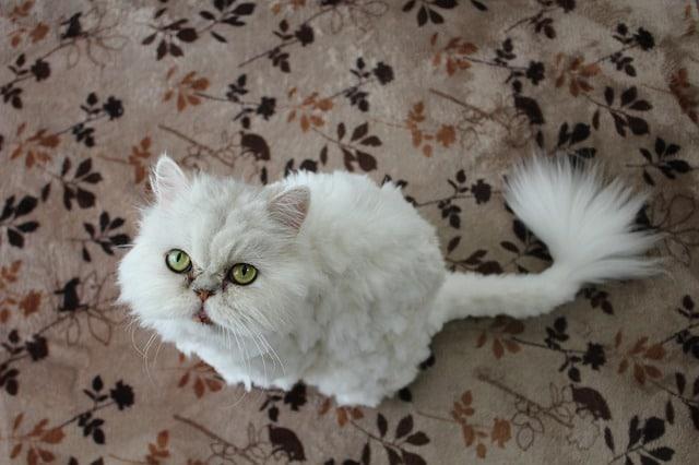 persialainen kissanpentu