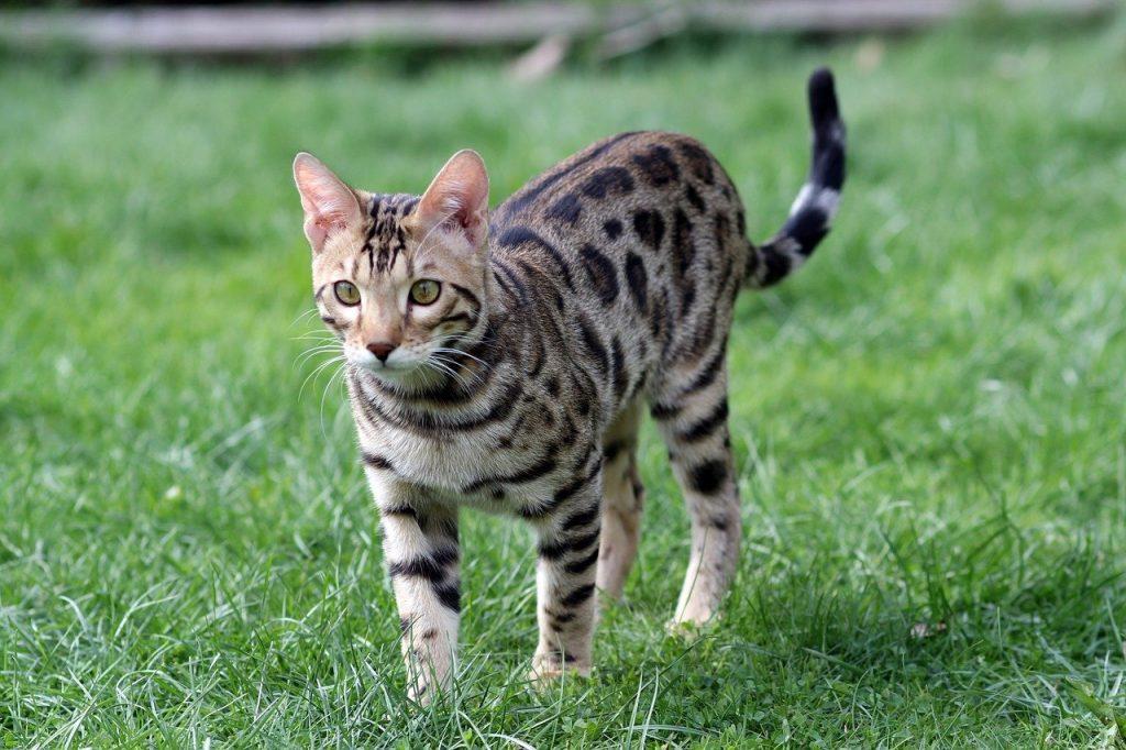bangalin kissa ulkoilee