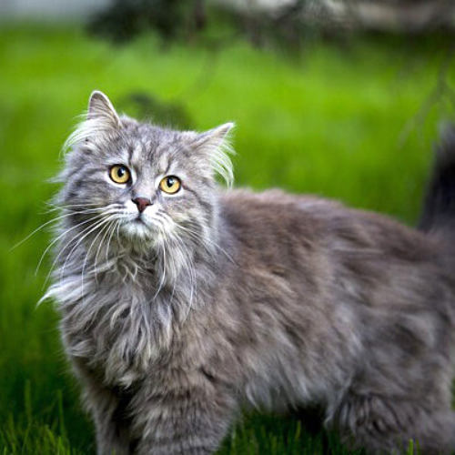 kuva maine coon kissasta