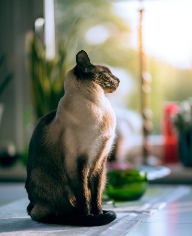 siamilainen-kissa-kokovartalo