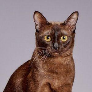 burman-kissa