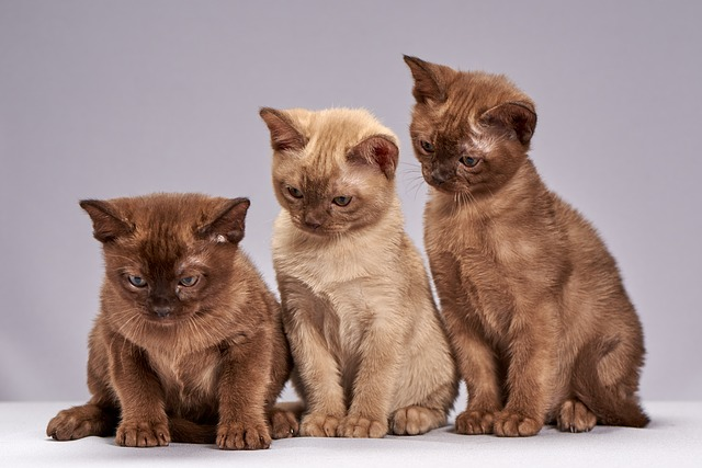 burman-kissa-pentuja