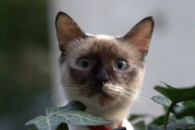burman kissa silmät