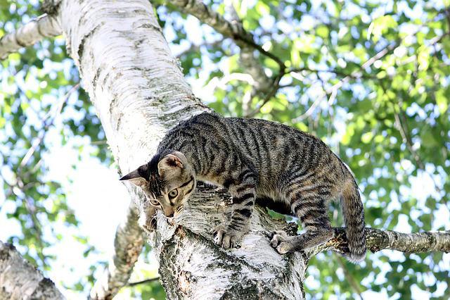 kissan-kiipeilypuu-kuva