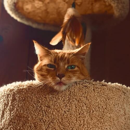 kissan raapimispuu featured