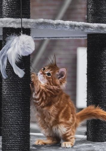 kissanpentu-ja-raapimispuu