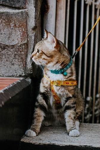 raidallinen-kissa-valjaissa