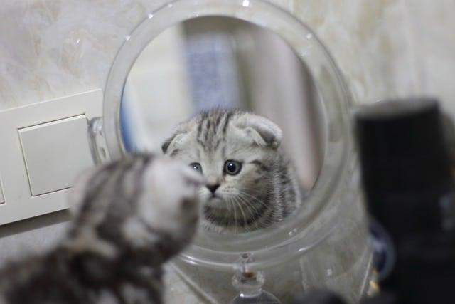 scottish fold katsoo peiliin