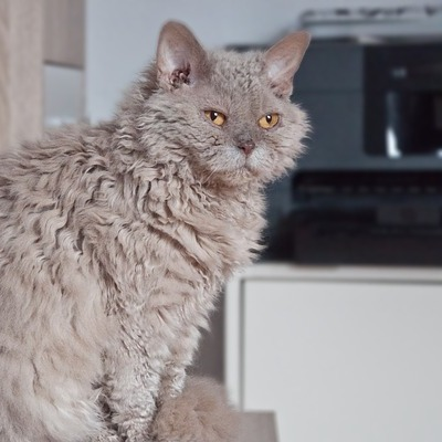 selkirk rex-featured-cropped