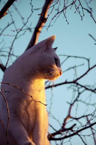 valkoinen-kissa-auringonlaskussa