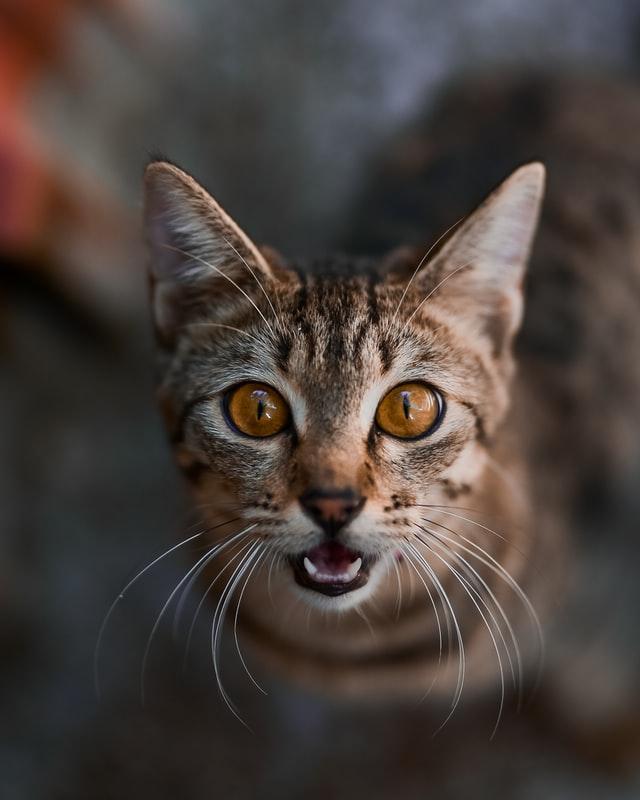 kissa-suu-auki