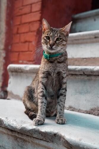 kissan-henkinen-terveys-harmaa-kisu