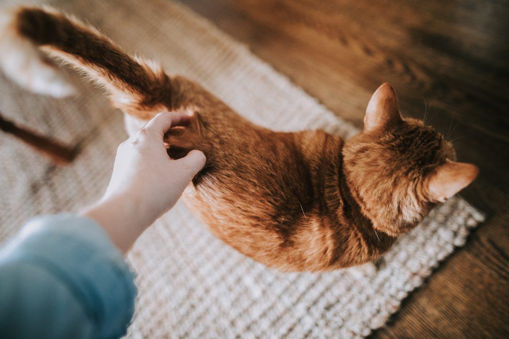 kissan hoito harjaus