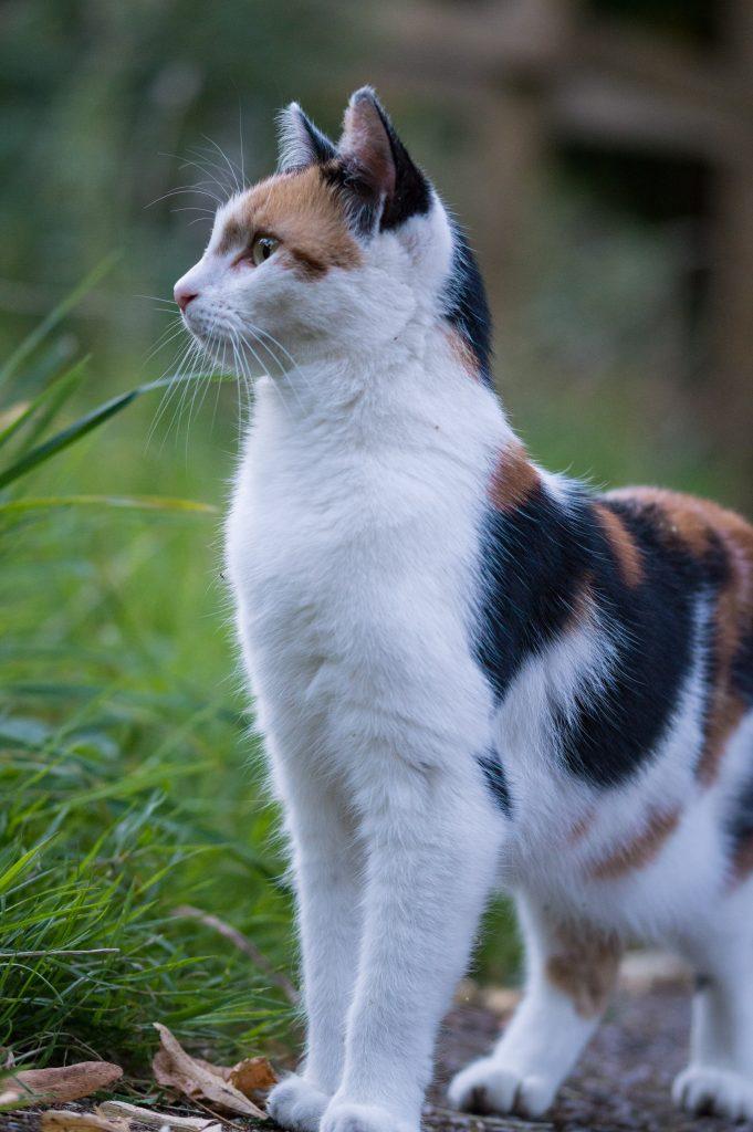 kissan hoito lyhytkarvainen