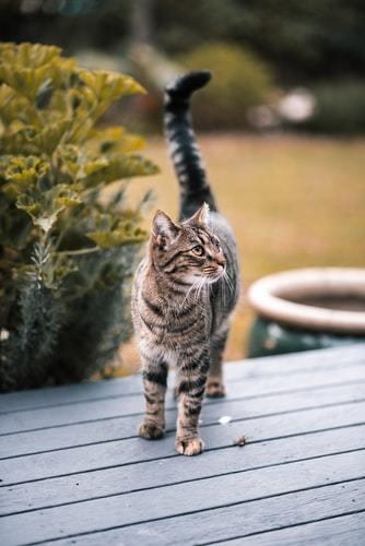 kissan-hoito-turkki-harmaa-kisse