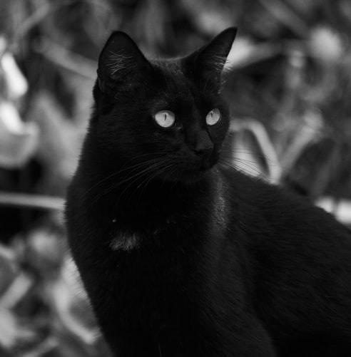 kissan-korvat-musta