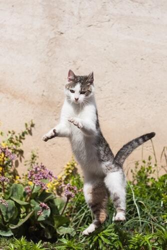 kissan-nivelet-valkomusta