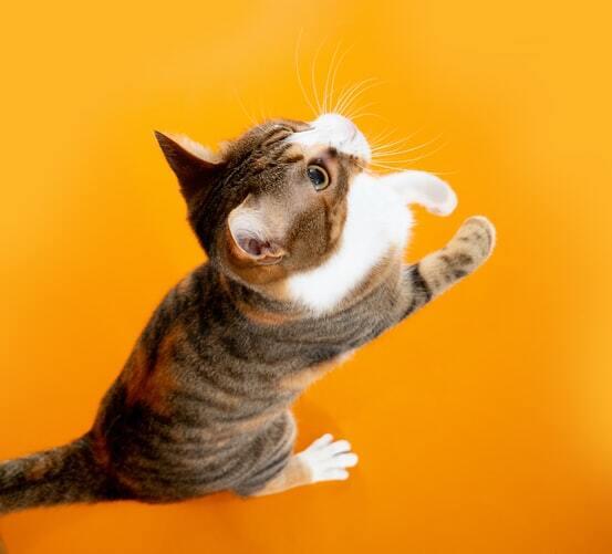 kissan-tassut-ja-kynnet-keltainen