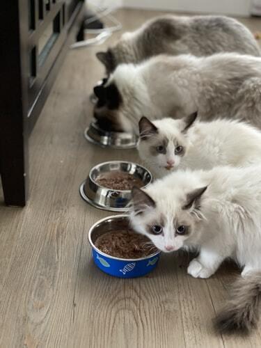 kissan-vatsa-pennut-ruokailulla