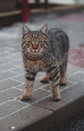 manx-kissa-söpö