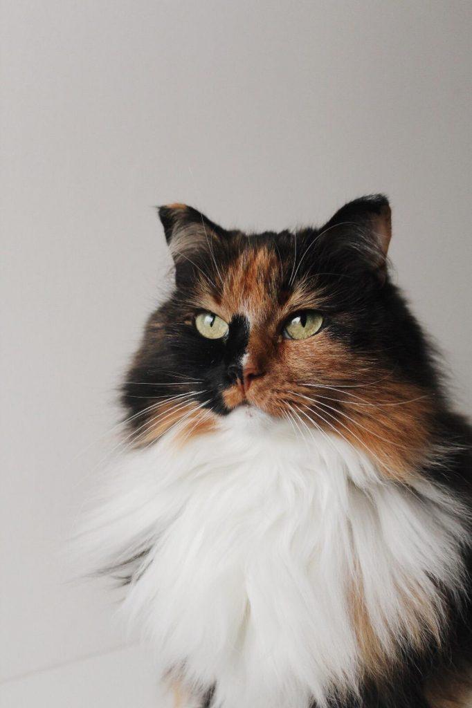 misu-pitkakarvainen-kissa