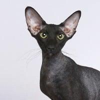 peterbald-kissa