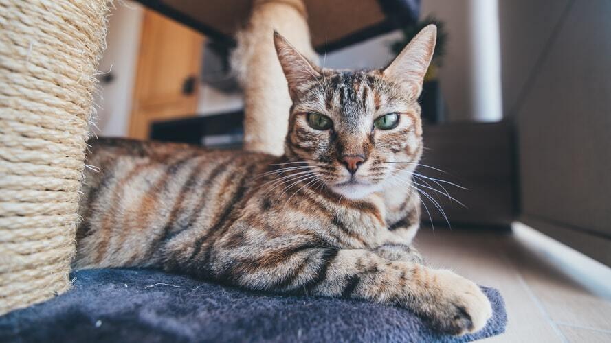 raidallinen-kissa-kissan-raapimispuu