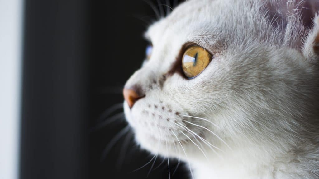 burmilla-kissa-1